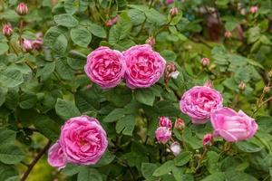 Rose foto