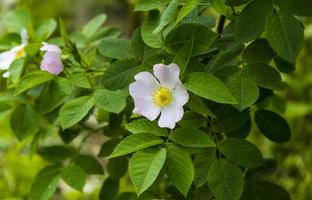 fiore di rosa selvatica, fiori di rosa selvatica foto