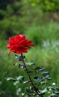 la rosa foto