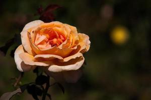 rosa fiore singolo