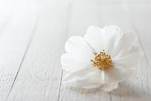 Rosa selvatica foto