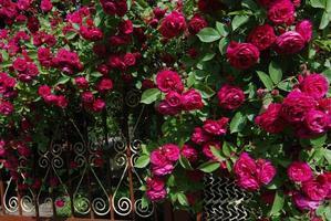 cespuglio di rose