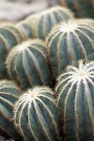 parodia magnifica cactaceae