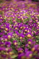 fiori di viola del pensiero