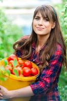giovane donna in una serra con pomodori, raccolta.