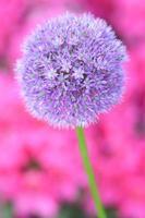splendida infiorescenza di aglio contro fiori rosa di rododendro
