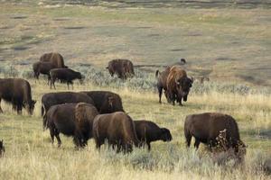 mandria di bisonti al pascolo nella valle di lamar, parco di yellowstone, wyoming