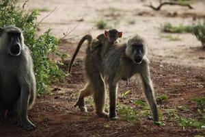scimmie nel parco nazionale di tsavo est foto