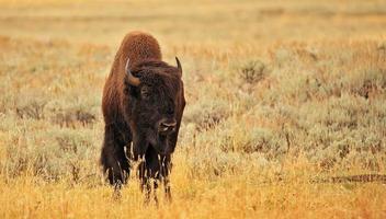 bisonte americano nel parco nazionale di yellowstone