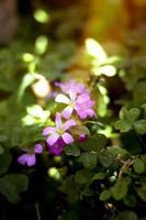 acetosa violetta foto
