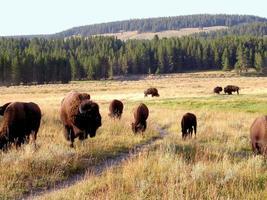 bufalo (bisonte) al parco nazionale di yellowstone