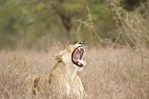 leone femmina che sbadiglia nella boscaglia, kruger, za