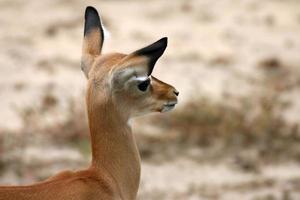impala nel parco nazionale di tsavo est del kenya