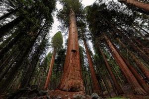 primo piano albero gigante nel parco nazionale di sequoia