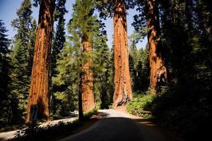 famosi grandi alberi di sequoia