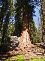 sequoie alte e grandi nel bellissimo parco nazionale di sequoia