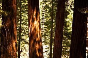 famosi grandi alberi di sequoia sono in piedi nel parco nazionale di sequoia