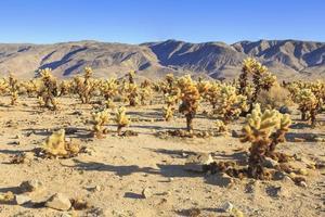 parco nazionale di joshua tree - campo di cactus foto