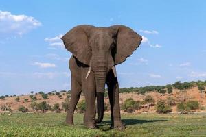 elefante africano nel parco nazionale di chobe