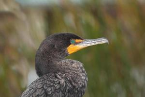 grande cormorano