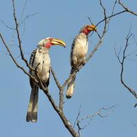 uccelli hornbil foto