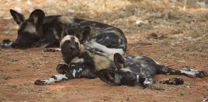 cuccioli di cane selvatico foto