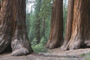 alberi di sequoia, seqouias