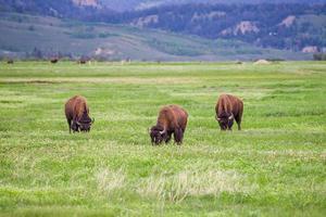 tre bisonti al parco nazionale del grand teton, usa