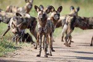 cani selvaggi nel parco nazionale di kruger foto