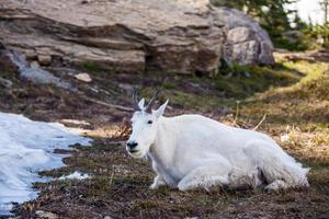 montagna di capre nel parco nazionale del ghiacciaio