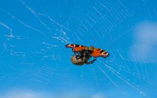 ragno che mangia la sua preda.