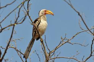bucero beccogiallo meridionale, sud africa foto