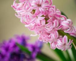 giacinti viola in giardino
