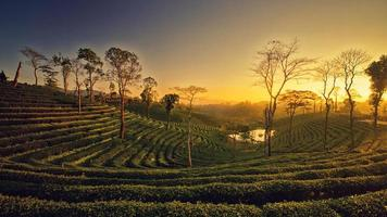 piantagioni di tè foto