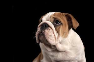 cucciolo di bulldog inglese.