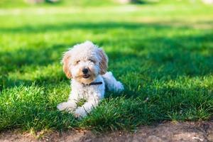 barboncino albicocca sdraiato sull'erba durante la giornata di sole foto