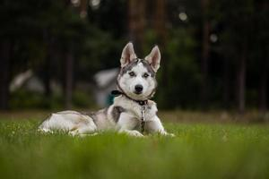 cucciolo siberian husky.