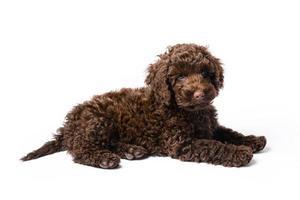 mini cucciolo labradoodle foto