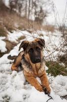 cucciolo di pastore tedesco foto