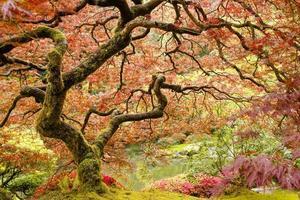 albero di acero giapponese foto