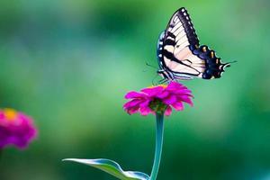 farfalla a coda di rondine della tigre orientale su una zinnia rosa brillante foto