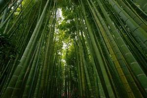 boschetto di bambù