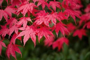 aceri rossi nella stagione autunnale