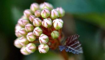 vino estivo ninebark - fioritura precoce foto