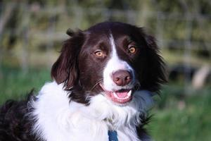bello springer collie cross pet dog foto