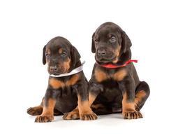 gruppo di cuccioli di dobermann