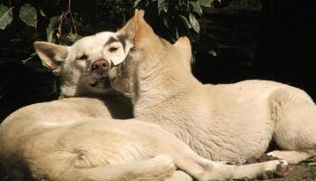 animale - dingo foto