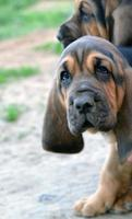 foto del cucciolo di cane bloodhound