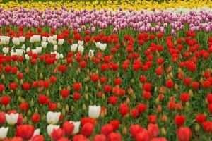 tulipano alveo