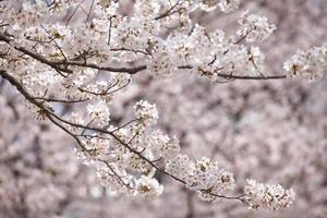 fiore di ciliegio sakura a tokyo in giappone nella stagione di sakura 2014